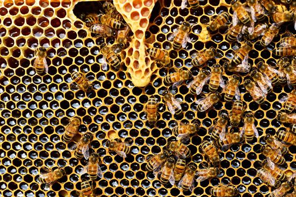 mleczko pszczele zastosowanie